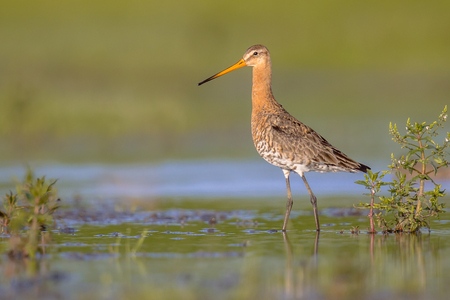 Black-tailed Godwit (Limosa limosa) wader bird majestically walking in shallow water of wetland and looking in the camera. About half of the world population breeds in the Netherlands.