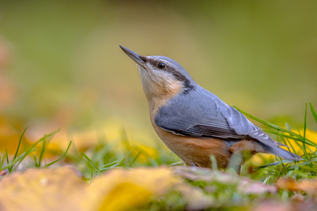Foto per Eurasian Nuthatch (Sitta europaea) in backyard lawn with leaves in autumn colors - Immagine Royalty Free