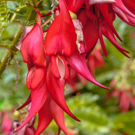 Photo pour Flowers of endangered Kakabeak (Clianthus puniceus). This plant species is native and endemic to new zealand - image libre de droit