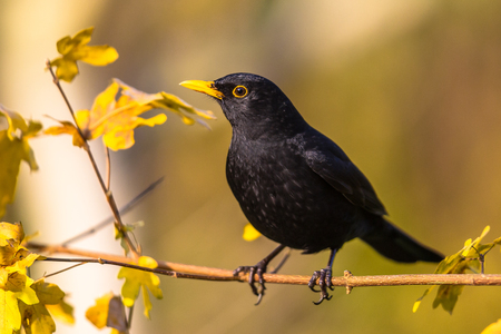 Foto de Male blackbird (Turdus merula) perched on branch with bright autumnal colored background - Imagen libre de derechos
