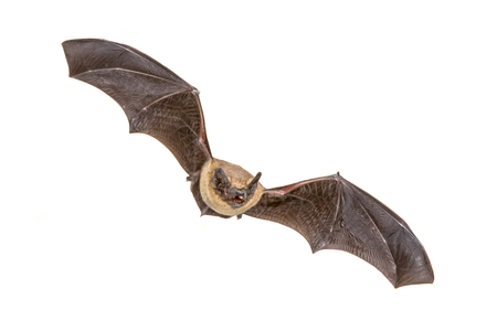 Photo for Flying Pipistrelle bat (Pipistrellus pipistrellus) action shot of hunting animal isolated on white background. This species is know for roosting and living in urban areas in Europe and Asia. - Royalty Free Image