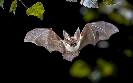 Foto de Flying bat hunting in forest. The grey long-eared bat (Plecotus austriacus) is a fairly large European bat. It has distinctive ears, long and with a distinctive fold. It hunts above woodland, often by day, and mostly for moths. - Imagen libre de derechos