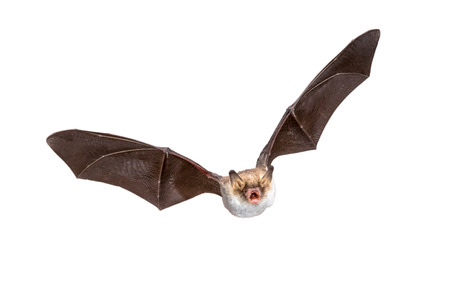 Foto de Flying Natterer's bat (Myotis nattereri) action shot of hunting animal isolated on white background. This species is medium sized, nocturnal and insectivorous found in Europe and Asia. - Imagen libre de derechos