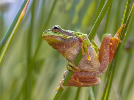 Photo pour Tree frog (Hyla arborea) getting looking up and ready to jump from common rush (juncus effusus) - image libre de droit