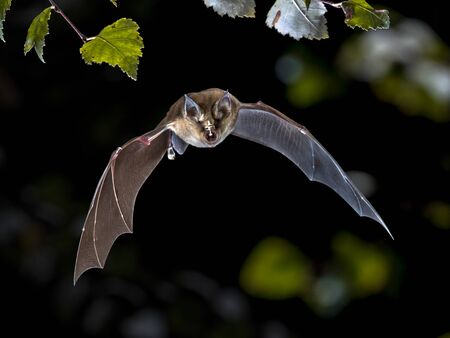 Photo pour Flying bat hunting in forest. The Greater horseshoe bat (Rhinolophus ferrumequinum) occurs in Europe, Northern Africa, Central Asia and Eastern Asia. It is the largest of the horseshoe bats in Europe and is thus easily distinguished from other species. - image libre de droit