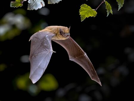 Photo pour Flying Pipistrelle bat (Pipistrellus pipistrellus) action shot of hunting animal in natural forest background. This species is know for roosting and living in urban areas in Europe and Asia. - image libre de droit