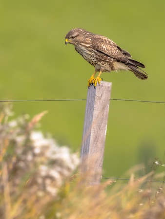 Photo pour Common buzzard (Buteo buteo) perched on pole on green background and looking for rodent prey. Wildlife scene in nature. Netherlands. - image libre de droit