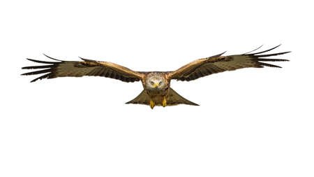 Photo pour Red kite (Milvus milvus) flying isolated on white background - image libre de droit
