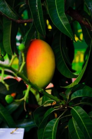 Orange mango on tree