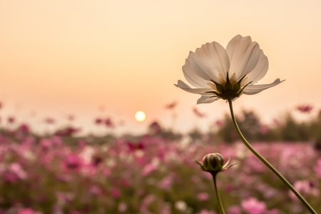 white cosmos on field in sunset time