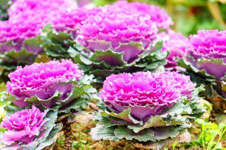 purple green ornamental cabbage in garden close up