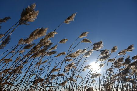 Tall reeds back lit by the sun