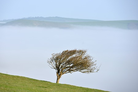 Windswept tree on the South Downs, UK, with low mist