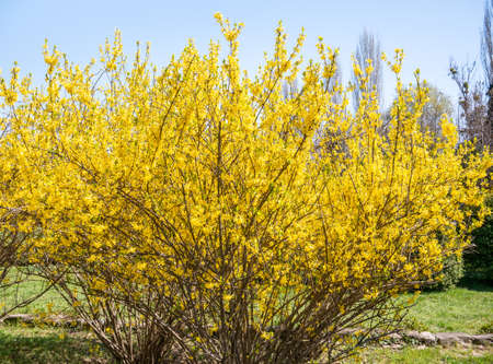 Foto de Forsythia suspensa flowers plant blooming, announcing the beginning of spring. - Imagen libre de derechos