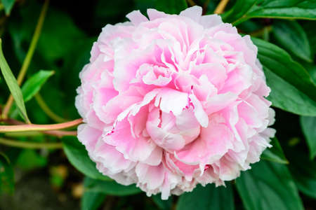 Photo for One large delicate pink magenta peony flower in shadow with blurred green leaves background in a garden in a sunny spring day in Scotland, United Kingdom - Royalty Free Image