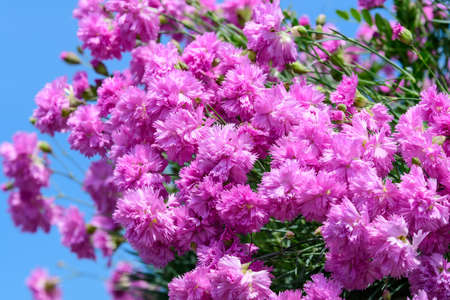 Foto für Background with fresh pink carnation flowers (Dianthus caryophyllus) and green leaves, side view - Lizenzfreies Bild