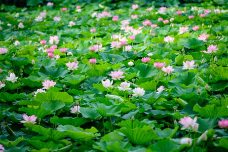 Photo pour Delicate vivid pink and white water lily flowers (Nymphaeaceae) in full bloom and green leaves on a water surface in a summer garden, beautiful outdoor floral background photographed with soft focus - image libre de droit