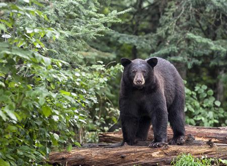 Black bear standing on fallen logs, alert and cautious. Summer in northern Minnesota