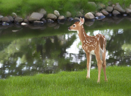 Whitetail deer fawn standing in grass next to a pond. Springtime in Wisconsin