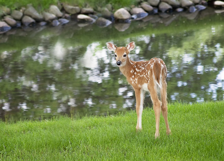 Close up image of a white-tailed deer fawn, near a pond, looking over its shoulder.  Soft focus.