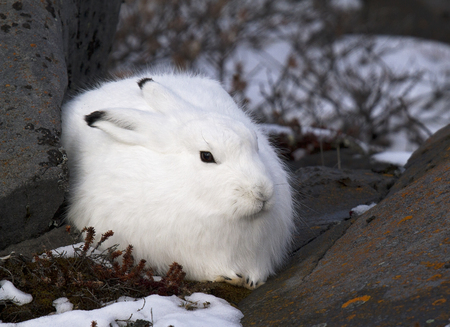 Close up image of an arctic hare in winter fur