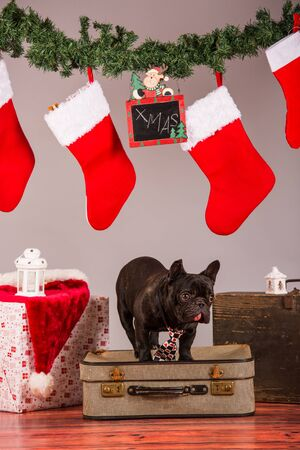 french bulldog with christmas decoraion in studio