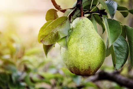Foto für Beautiful William pear on branch - Lizenzfreies Bild