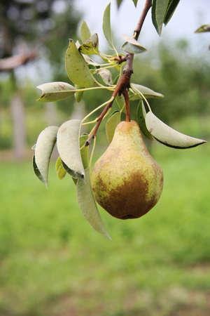 Foto für William pear on tree - Lizenzfreies Bild