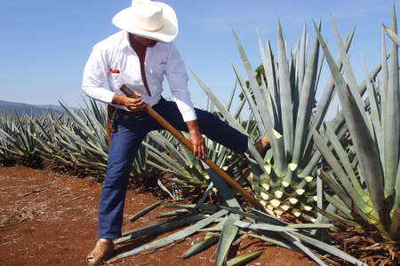 tequila production in  tequila, jalisco, mexico
