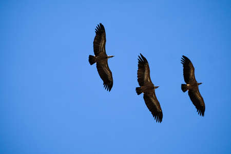 Vultures in the natural park of Monfrague, one of the best places in Spain to observe these birds, province of Caceres in Extremadura Spain