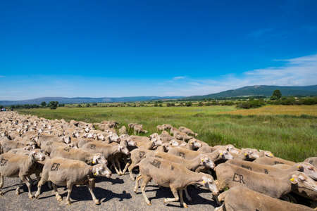 Soria, Spain - June 9, 2017: one of the last flocks of sheep that make the route of transhumance in the province of Soria, a route that takes place since medieval times
