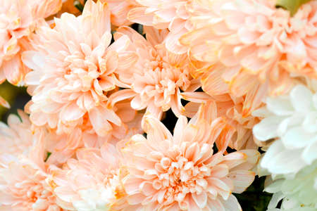 Foto de Bouquet of Salmon Color and White Chrysanthemum or Golden-Daisy Close-Up - Imagen libre de derechos