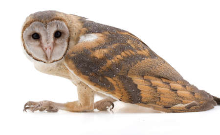 Photo pour indian barn owl isolated on white background - image libre de droit
