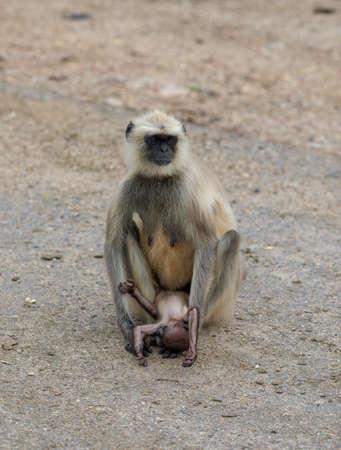 Foto de Indian Monkey or Langoor at mahadev temple rajasthan - Imagen libre de derechos