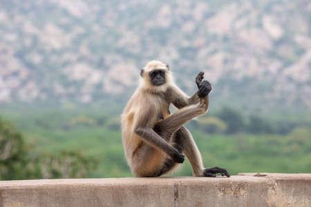 Photo pour Indian Monkey or Langoor at mahadev temple rajasthan - image libre de droit
