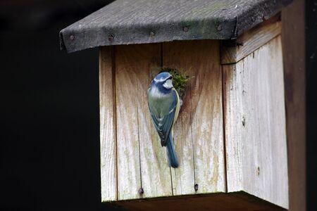 Photo pour blue tit with nesting material on the nesting box - image libre de droit
