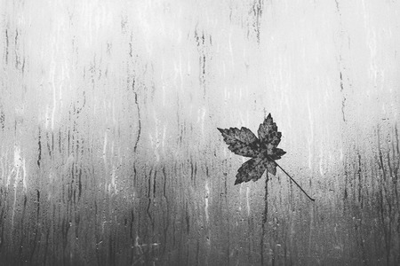 Maple leaf on a window in the rainの写真素材