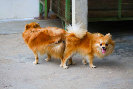 male and female pomeranian dog mating, Mating of pet.