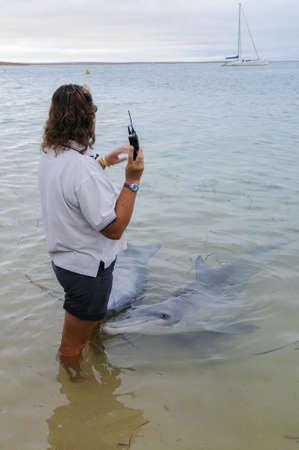 MONKEY MIA, WEST COAST, AUSTRALIA-APRIL 5, 2008: Ranger with wild living dolphins