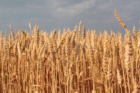 Wheat stalks forming a horizon line against the sky
