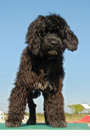 puppy portuguese water dog upright on a table of agility