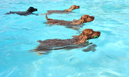 four cocker spaniel playing in a swimming pool
