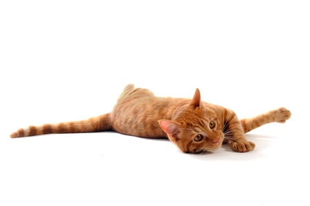 ginger cat laid down in front of white background