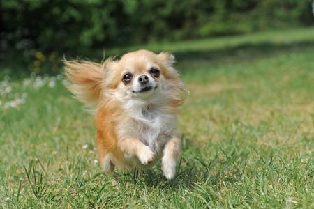 portrait of a cute purebred   chihuahua running in a field
