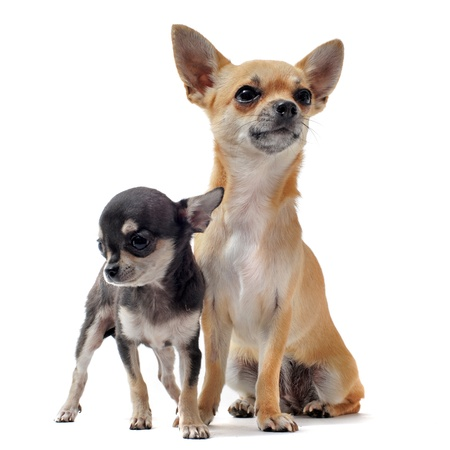 portrait of a cute purebred  puppy chihuahua  and his mother in front of white background