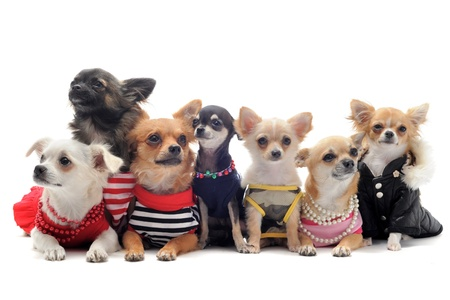 group of chihuahua dressed in front of white background