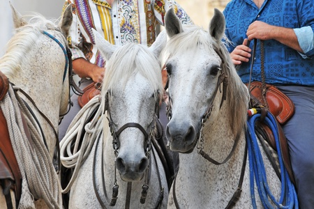 three camargue horses with gauchos in Arles, Languedoc Roussillon, France