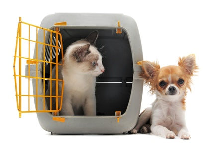 Photo for cat closed inside pet carrier and chihuahua isolated on white background - Royalty Free Image