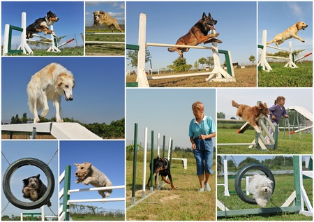 composite picture with purebred dogs in training of agility
