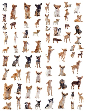 portrait of a many purebred  chihuahuas in front of white background
